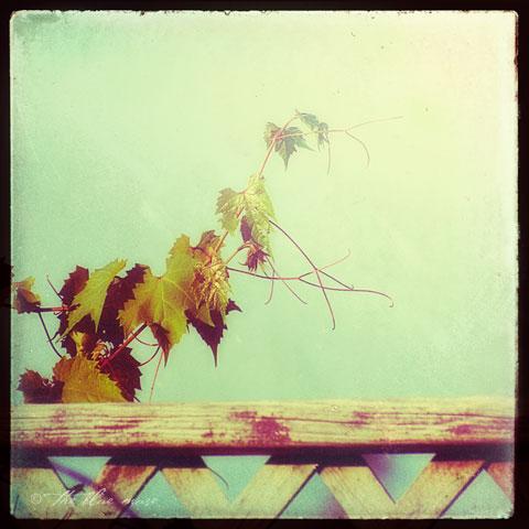 morning-vine-mm